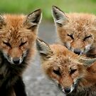 REDREAMING RED FOX FAMILY by REDREAMER