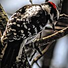 Downy Woodpecker by Robin Lee