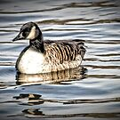 Canadian Goose by Robin Lee