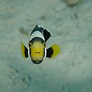 Juvenile saddleback anemonefish - Amphiprion polymnus by Andrew Trevor-Jones