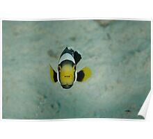 Juvenile saddleback anemonefish - Amphiprion polymnus Poster