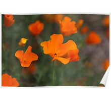 Californian poppies in Bloom Poster