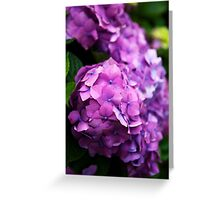 Purple Hydrangea Blooms Greeting Card