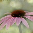"My pink Coneflower... ""Echinacea purpurea"" by Qnita"
