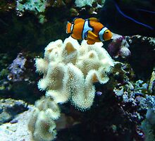 Clown Fish Among the Coral by Jane Neill-Hancock