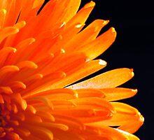 Orange Mum by Robin Lee