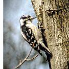 Woodpecker by Robin Black