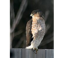 The visitor, Young Hawk on my backyard fence #1 Photographic Print