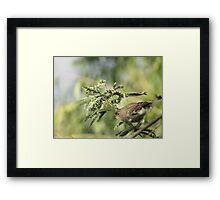 Yellow-rumped Warbler ~Female Audubon's Framed Print