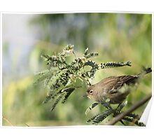 Yellow-rumped Warbler ~Female Audubon's Poster