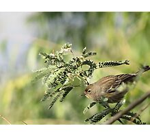 Yellow-rumped Warbler ~Female Audubon's Photographic Print
