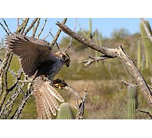 Prairie Falcon (Captive) ~ Landing Photographic Print