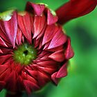 Red Dahlia_4 by Krystal Cunningham