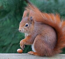 Squirrel with nut by Gill Langridge