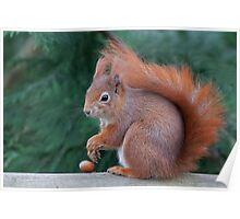 Squirrel with nut Poster