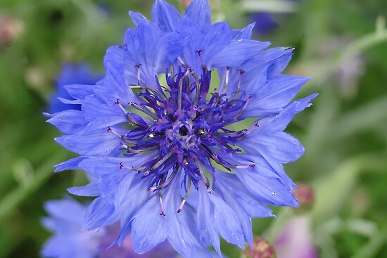 Cornflower Blue by AH64D