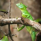 Jesus Christ Lizard in Tortuguero by Robert Kelch, M.D.