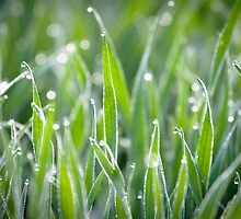 Wet grass by Maxim Mayorov