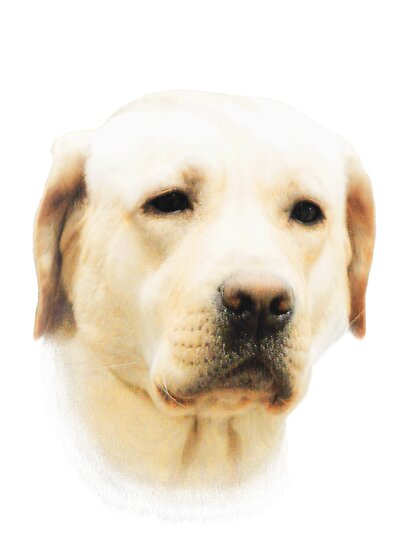 Yellow Labrador by Marcia Rubin