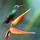 Hummingbird on Heliconia by jimmy hoffman