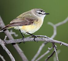 Yellow-rumped Thornbill (Acanthiza chrysorrhoa) by bowenite