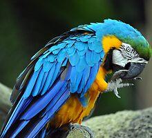 Blue & Yellow Macaw - Singapore (3) by Ralph de Zilva