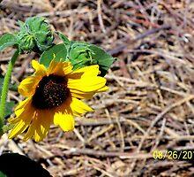 Sunflower by Marie Matthews