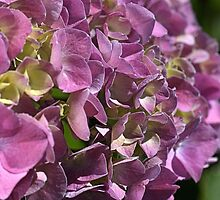 Happy Hydrangea by Joy Watson