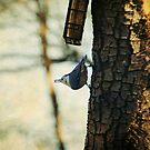 Nuthatch at the feeder by Lynn Starner