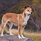 Purebreed Dingo by doug hunwick