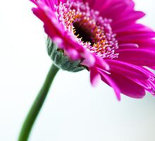 Pink Gerbera Flower by Neil Clarke