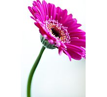 Pink Gerbera Flower Photographic Print