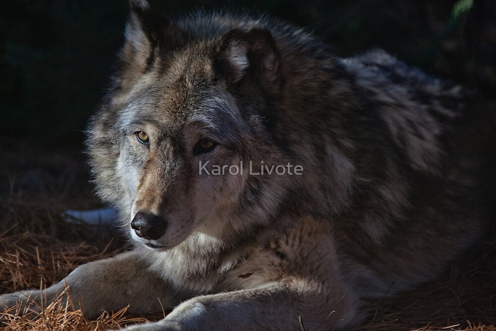 Colors of a Wolf by Karol Livote