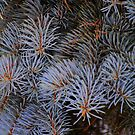 Blue Spruce by goddarb