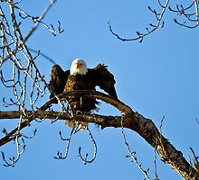 Adjusting the perch on a Cottonwood branch by amontanaview