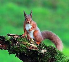 Red Squirrel by Maria Gaellman