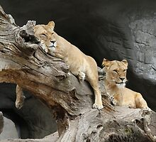 Lions by franceslewis