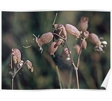 Bladder Campion Silene vulgaris Wildflowers NY 19570714 0005  Poster