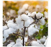 Cotton Field 4 Poster