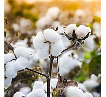 Cotton Field 4 Photographic Print