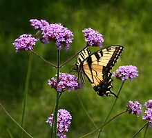 Tiger Swallowtail Among the Verbena by Robert E. Alter / Reflections of Infinity, LLC