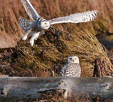 Snowy Owls by Tracy Riddell
