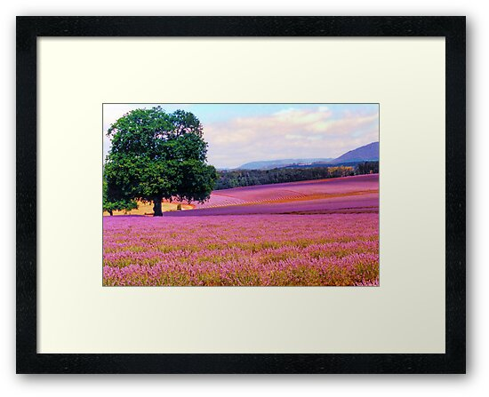 A Field of Lavender by Michael John