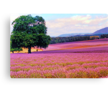 A Field of Lavender Canvas Print