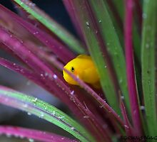 Citron Yellow Clown Goby by tigerwings