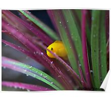 Citron Yellow Clown Goby Poster