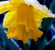 Snowy daffodil by Jennifer  Roth