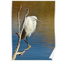 A Snowy Egret  Poster