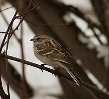 American Tree Sparrow by Alyce Taylor