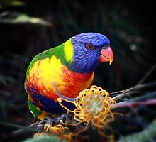 Rainbow Lorikeet by Keith G. Hawley